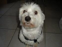Uki, chien Bichon maltais
