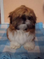 Finette, chien Shih Tzu