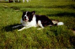 Fidji, chien Border Collie