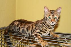 Freestyle, chat Bengal