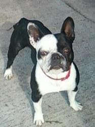 Doug, chien Bouledogue français