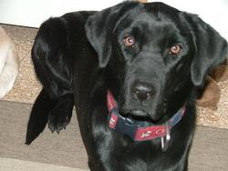 Bahia, chien Labrador Retriever