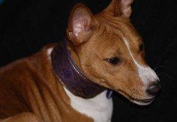 Bongo, chien Basenji