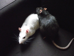Pin-Up, rongeur Rat