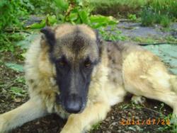 Titus, chien Berger allemand