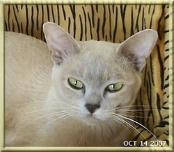 Angie, chat Burmese