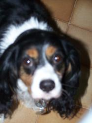 Anton, chien Cavalier King Charles Spaniel