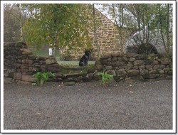 Abba, chien Épagneul breton