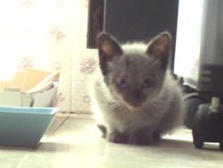 Lili Bisou, chat Siamois
