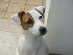 Etoile Des Elucines, chien Parson Russell Terrier