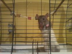 Cracotte, rongeur Rat