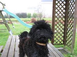 Chouchou, chien Caniche