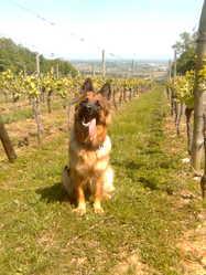 Dorka, chien Berger allemand