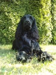 Zadig, chien Cocker anglais