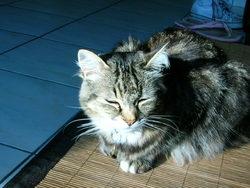 Baltazar, chat Européen