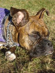 Laika, chien Boxer