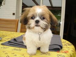 Gamin, chien Shih Tzu