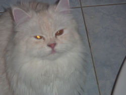 Eddy, chat Persan