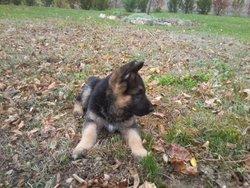Eyden, chien Berger allemand
