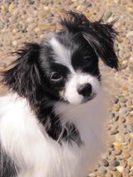 Farrell De La Lune De Cristal, chien Épagneul nain continental