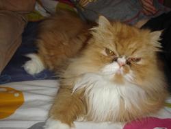 Etamine, chat Persan