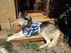 Tismuk, chien Husky sibérien