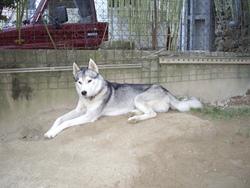 A' Ikki, chien Husky sibérien