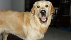 Dom, chien Golden Retriever