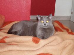 Uranie, chat Chartreux