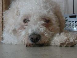 Békanou, chien Bichon bolonais