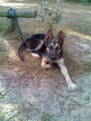 Twister, chien Berger allemand