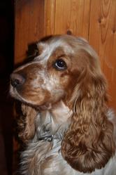 Jipsy, chien Cocker anglais