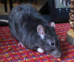 Citron, rongeur Rat