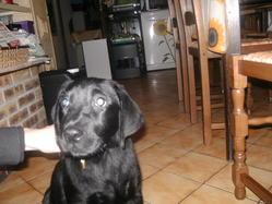 Eva, chien Labrador Retriever