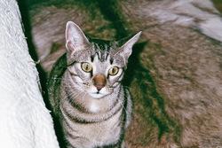 Barnabé, chat Mau Egyptien