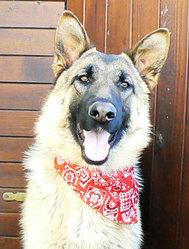 Eira, chien Berger allemand