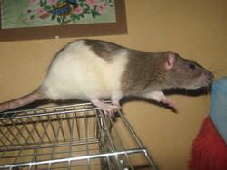 Bambou, rongeur Rat