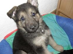 Fender, chien Berger allemand