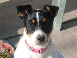 Ficelle, chien Jack Russell Terrier