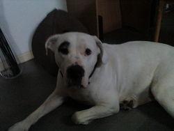 Diaz, chien Dogue argentin