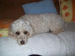 Ula, chien Caniche