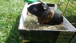 Charlie, rongeur Cochon d'Inde