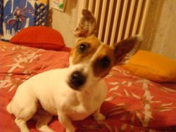 Delna, chien Jack Russell Terrier