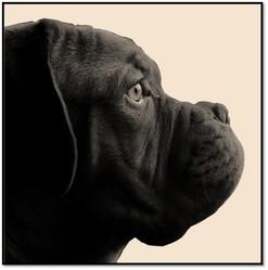 Einstein, chien Dogue de Bordeaux
