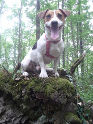 Injall, chien Jack Russell Terrier
