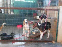 11 Chiots, chien Anglo-Français de petite vénerie