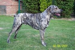 Benito, chien Cão fila de São Miguel