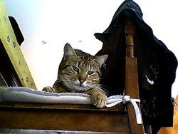 Tounette, chat Gouttière