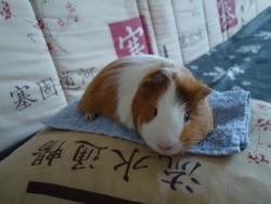 Titou, rongeur Cochon d'Inde