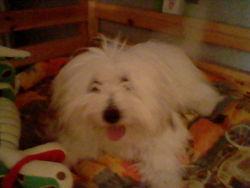 Kikinou, chien Coton de Tuléar
